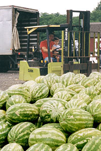 Locally grown, fresh ripe watermelons at Jones Family Farm Market, Edgewood and Baltimore area, Maryland.